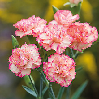 Carnation Flower Multi-colour Flowers Seeds