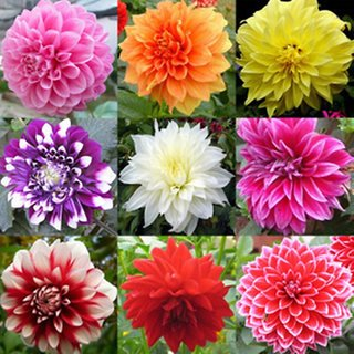Dahlia flowers Quality Seeds
