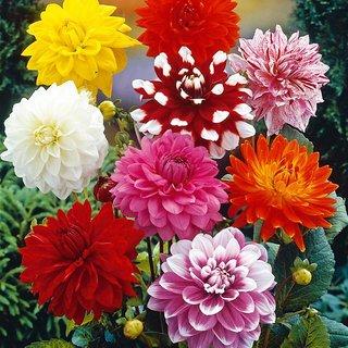 Dahlia flowers R-DRoz Seeds