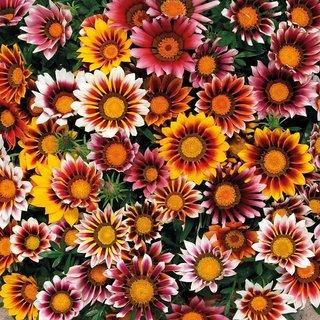 Gazania Flower High Germination Seeds
