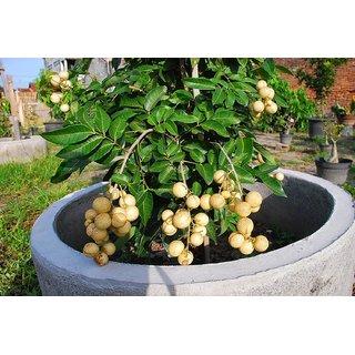 Rare Dwarf Dimocarpus longan , Longan Fruit Plant 1 Healthy Live Plant
