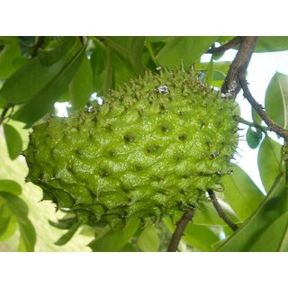 Rare Exotic Tropical Fruit Soursop Annona muricata Prickly Custard Apple Fruit Plant ( 1 Healthy Live Plant )