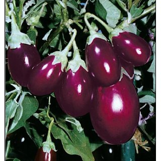 Seeds Little Brinjal High Quality Seeds