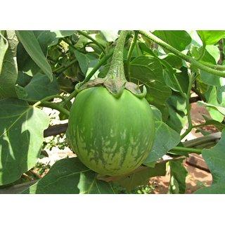Seeds Green Brinjal Hybrid Seeds