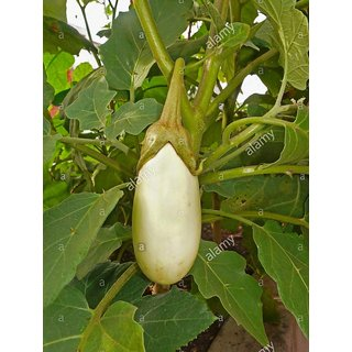 White Brinjal Premium Vegetables Seeds