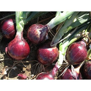 Dark Red Onion Vegetables Seeds