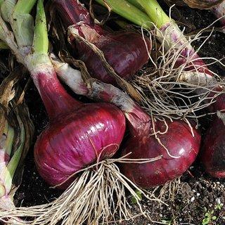 Seeds Nasik Dark Red Onion M Vegetables Seeds