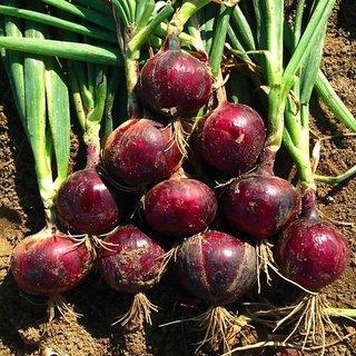 Seeds Dark Red Hybrid Onion M Vegetables Seeds