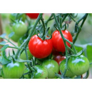 Cherry Tomato Super Quality Vegetables Seeds