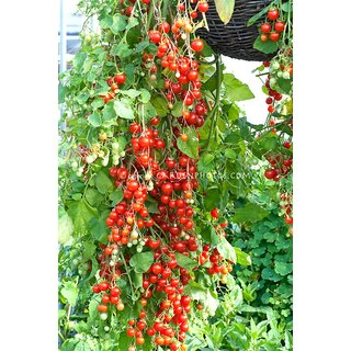 Cherry Tomato M Vegetables Seeds