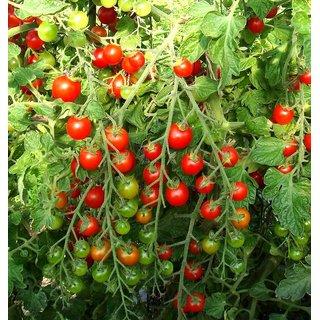 Cherry Tomato All Need Seeds  For Kitchen Garden