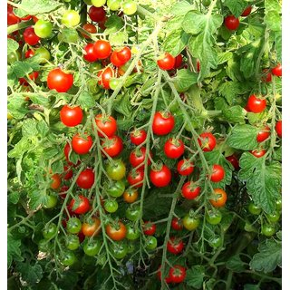 Red Cherry Tomato Fine Quality Seeds