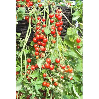 Red Cherry Tomato Seeds for Home Garden