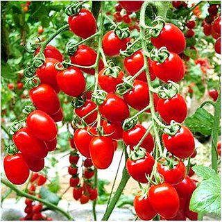 Hybrid Cherry Tomato 2x Quality Seeds For Kitchen Garden