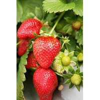 Syed Garden Multicolor Strawberry Seed