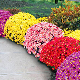 Chrysanthemum Seeds Perennial Daisy Flower Seeds Mix Color