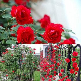 Climbing Rose Seeds Rosa Multiflora Perennial Fragrant