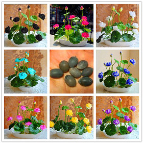 lotus seed hydroponic plants aquatic plants flower seeds pot water lily seeds