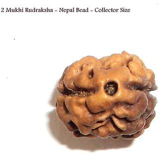 2 Mukhi Rudraksha NEPAL Certified 31.21mm COLLECTOR TWO Face Rudraksh