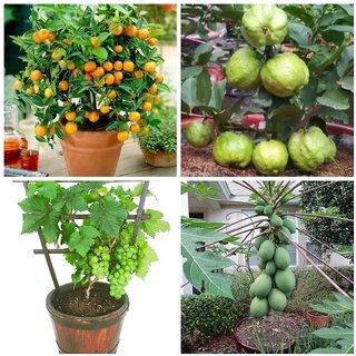 Dwarf Potted Fruit Seeds Combo - Orange Guava Grape Papaya