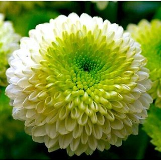 Chrysanthemum Flower Multi-Colour Super Quality Seeds