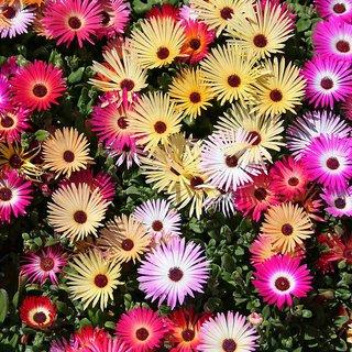 Ice Plant Multi-Colour Flower Seeds  For Home Garden