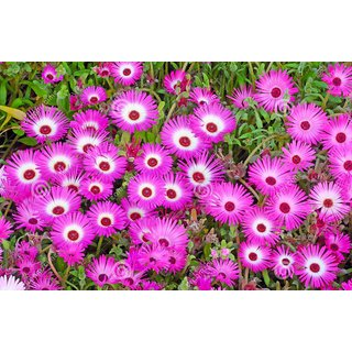 Seeds Ice Plant Mixed Colour Flower Flowers Seeds