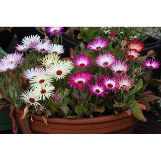 Seeds Ice Plant Multi-Colour Flower Refined Seeds