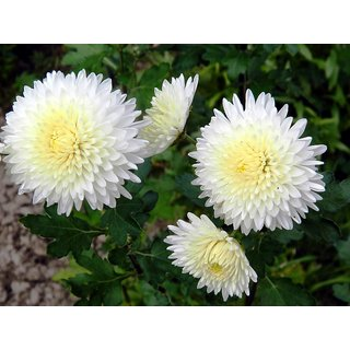 Chrysanthemum Flower Multi-Colour High Germination Seeds