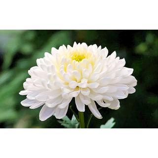 Seeds Chrysanthemum Flower Multi-Colour Indian Seeds for Home Garden