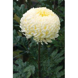 Chrysanthemum Flower Mixed Colour Hybrid Flowers Seeds