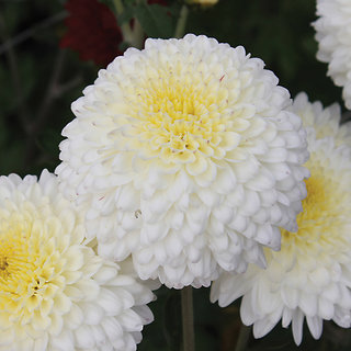 Chrysanthemum Flower Mixed Colour Quality Flowers Seeds