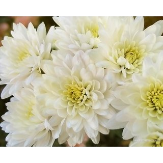Seeds Chrysanthemum Flower Multi-Colour Quality Seeds for Home Garden