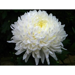Seeds Chrysanthemum Flower Mixed Colour Super Quality Flowers Seeds