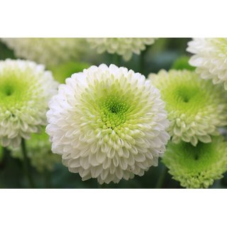 Seeds Chrysanthemum Flower Mixed Colour Double Quality Seeds For Home Garden