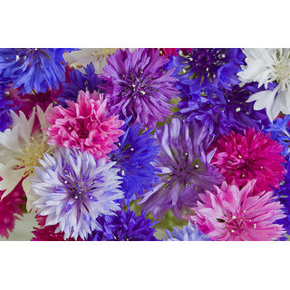 Corn Flower Mixed Colour Premium Flowers Seeds