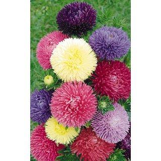 Corn Flower Premium Exotic Seeds