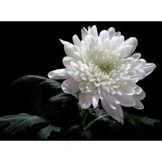 Seeds Chrysanthemum Flower Mixed Colour Aone Seeds