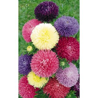 Corn Flower Mixed Colour Seeds  For Home Garden