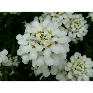 Candy Tuft Beautiful White Flower Hybrid Exotic Seeds  For Home Garden