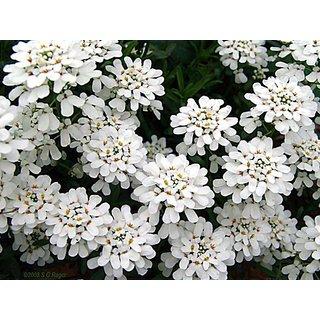 Candy Tuft White Flower Supe Germination Seeds