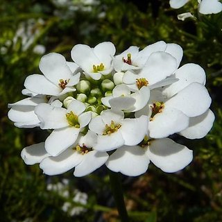 Seeds Candy Tuft White Flower Indian Seeds for Home Garden