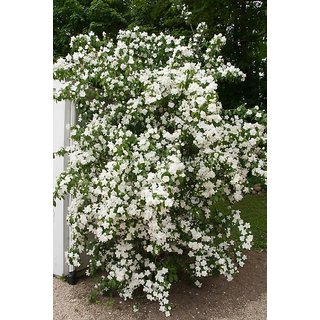 Candy Tuft Beautiful White Flower Seeds  For Home Garden