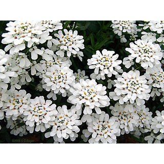 Candy Tuft Beautiful White Flower Peremium Hybrid Seeds For Home Garden