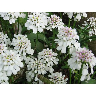 Candy Tuft Beautiful White Flower Supers Seeds For Home Garden