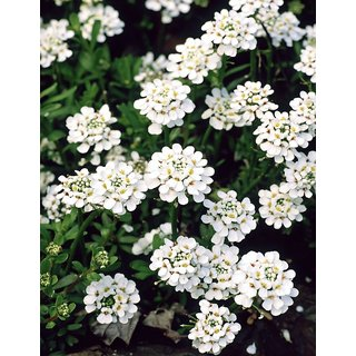 Candy Tuft White Flower Quality Seeds for Home Garden