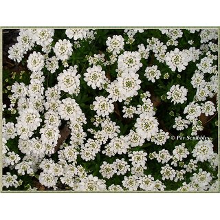 Candy Tuft Beautiful White Flower Super Quality Flowers Seeds