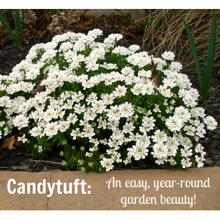 Candy Tuft Beautiful White Flower Double Quality Seeds For Home Garden