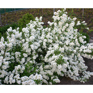 Candy Tuft Beautiful White Flower Quality Flowers Seeds