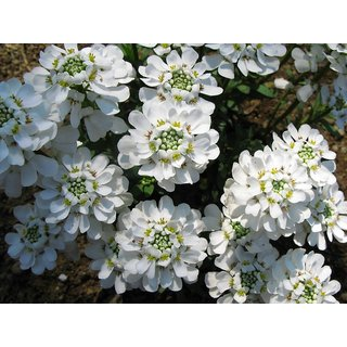 Candy Tuft Beautiful White Flower Magni Seeds For Home Garden